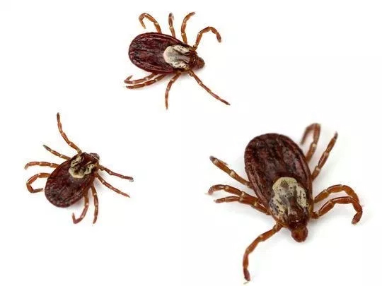 Ticks that can Cause Lyme Disease