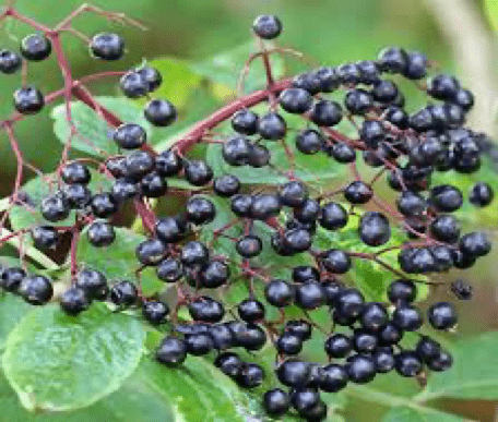 Elderberry for the Flu